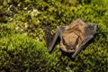 Big Brown Bat stock photo (iStock.com)