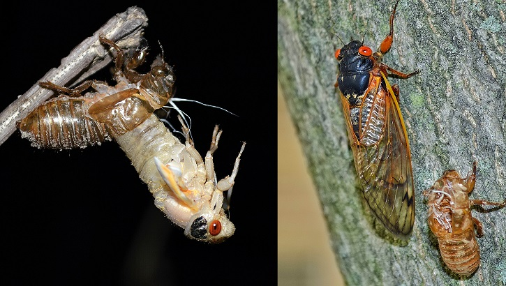 Opens larger image for After 17 years, cicadas ready to descend on D.C. area, 14 other states